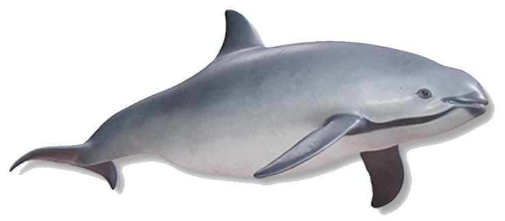 3D image of a vaquita that you can rotate around. Pretty Cool!